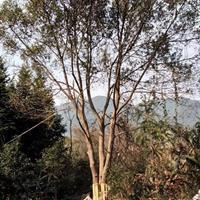 大量出售香樟樹 從生香樟