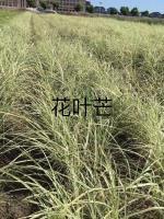 供应:水生植物 花叶芒 产地:浙江