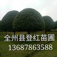 供應精品桂花樹