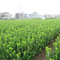 大葉黃楊工程苗大葉黃楊球價格大葉黃楊產地供應優質大葉黃楊