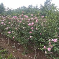 優質單重瓣木槿批發/單重瓣紅花木槿基地/單重瓣叢生木槿價格