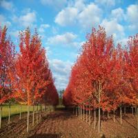 美国红枫价格_美国红枫图片_美国红枫产地_美国红枫绿化苗木