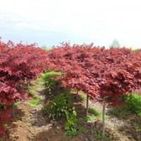 優質紅楓 美國紅楓 日本紅楓 三季紅 四季紅 雞爪槭小苗