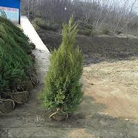 2米高蜀檜價格,2米高度蜀檜柏價格,產地直銷2米高塔柏價格