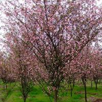 銷售西府海棠,垂絲海棠,木瓜海棠,紅寶石海棠等各種苗木