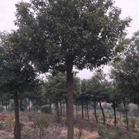 優質香樟,香樟樹,香樟直銷,香樟價格,香樟樁,10公分香樟