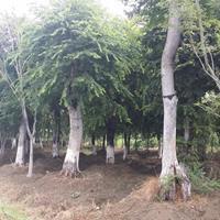 樸樹價格_樸樹圖片_樸樹產地顛樸樸樹綠化20公分樸樹