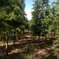 落羽杉水杉,金叶水杉基地,柳杉产地,水杉,水杉之乡