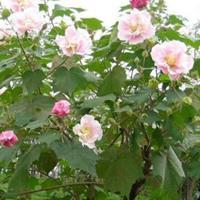 花桃.木芙蓉.亮绿忍冬.荚蒾.水果兰