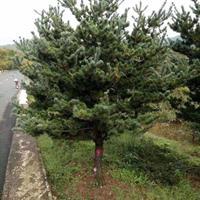 供应各规格精品五针松造型 以及毛培树