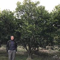 供应丛生胡柚树 及橘子树 各品种果苗