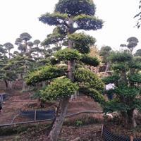 榆树桩,榔榆桩,造型小叶榆树,湖南榆树价格