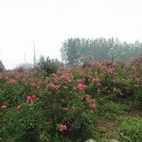 批发丛生紫薇,丛生百日红,日本矮紫薇,夏天开花苗木