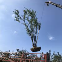 叢生樸樹 多桿樸樹 叢生女貞 15樸樹---35公分樸樹