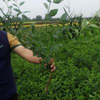 江苏连翘基地,自产批发连翘小苗,连翘绿化苗木苗圃价格