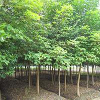 重陽木價格_重陽木圖片_重陽木產地_重陽木綠化苗木苗圃基地