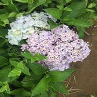 八仙花價格_八仙花圖片_八仙花產地綠化苗木苗圃基地