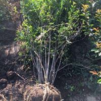 供应花石榴,牡丹石榴,红石榴,果石榴,园林苗木供应
