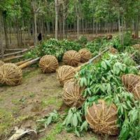 供應櫸樹、七葉樹、灑金柏、紫葉女貞、瓜子黃楊、紅葉李