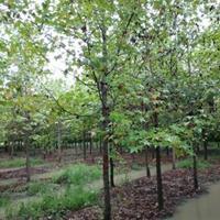 供應楓楊,楝樹,烏桕,楊樹,構樹,石榴各種鄉土樹銷售