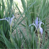 水生植物观赏草晨光芒马蔺雨久花蒲苇水菖蒲水芹菜基地直销