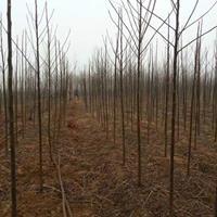 苦楝價格_苦楝圖片_苦楝產地_苦楝綠化苗木苗圃基地