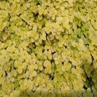 优质金叶景天 金叶景天小苗的养护方法 金叶景天