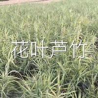 浙江花叶芦竹介绍/特征/用途