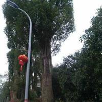 广西85公分香樟树介绍/香樟树特征/大规格香樟树用途