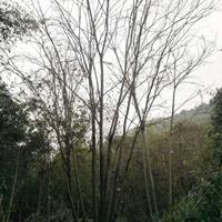廣西批發叢生樸樹/大樸樹供應