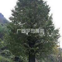 桂花树、银杏树、香樟树、红枫、青枫、脐橙苗、红花继木