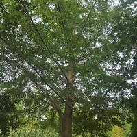 廣西銀杏樹紅花繼木、造型紅花繼木、羅漢松、造型羅漢松、造型榆樹哪里好/哪家便宜