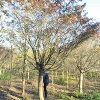 廣西15公分以上紅楓低價供應哪里好/桂林紅楓哪家便宜