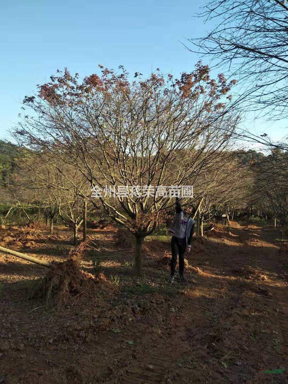 广西15公分以上红枫低价供应哪里好/桂林红枫哪家便宜