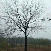 廣西樸樹廣西桂林樸樹/15公分樸樹價格價格/報價