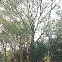 廣西樸樹介紹/20公分樸樹特征/16公分樸樹用途