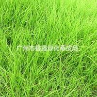 广州马尼拉草3.5元每平方