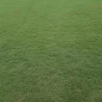 广东马尼拉草坪草皮出售行情报价/图片展示