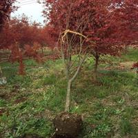 优质特价日本红枫产地直销