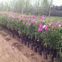 四季玫瑰行情報價/四季玫瑰圖片展示