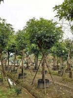 绿化芒果永盛园艺百亩园林基地直销规格齐全低价供应