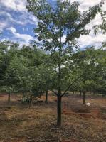 美人树永盛园艺百亩园林基地直销规格齐全低价供应