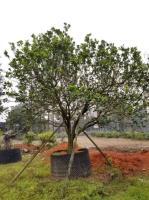 柚子永盛园艺百亩园林基地直销规格齐全低价供应