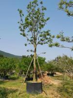红果冬青永盛园艺百亩园林基地直销规格齐全低价供应