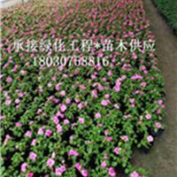 鳳仙花   指甲花