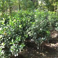 大葉黃楊冠50cm毛籠子價格 哪里有大葉黃楊毛籠子基地種植
