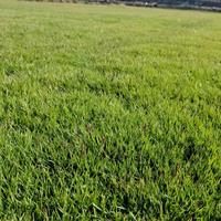 大量马尼拉草坪供应