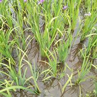 常綠水生鳶尾大量供應