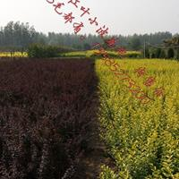 紫叶小檗高度30-60公分、红叶小波、红叶小檗绿化苗木