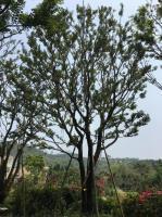 大樸樹價格 漳州精品樸樹價格 樸樹價格走勢 今年樸樹價格